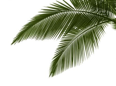 Hojas de Palma verde aislados sobre fondo blanco, proceso profesional de 16 bits RAW y RGB prophoto perfil de color utilizado para el archivo de salida JPG Foto de archivo