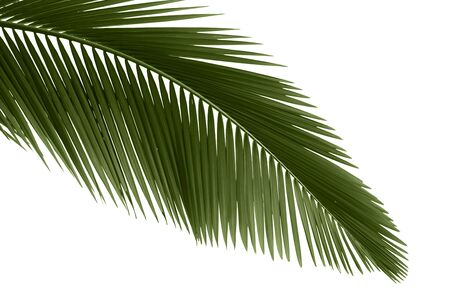 Green palm leaves isolated on white background,professional process from 16bit RAW and Prophoto RGB color profile used for output JPG file