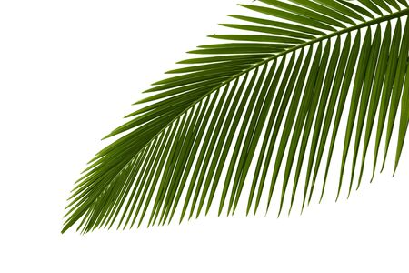Green palm leaves isolated on white background photo