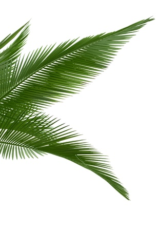 cycadaceae: Green palm leaves isolated on white background. Stock Photo