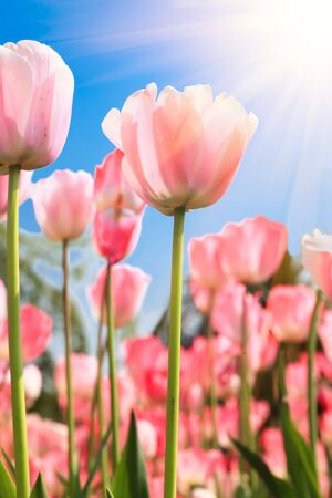 tulips in green grass: Colorful tulips under sunshine in a park,Location is the hot spring park,fuzhou,China.