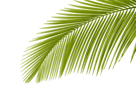 Part of palm leaf on white background Stock Photo - 9585708
