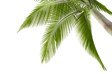Part of palm tree on white background photo