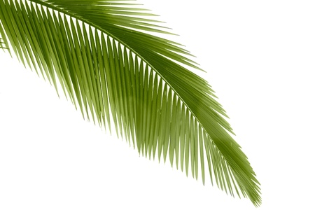 엽상체: Part of palm leaf on white background