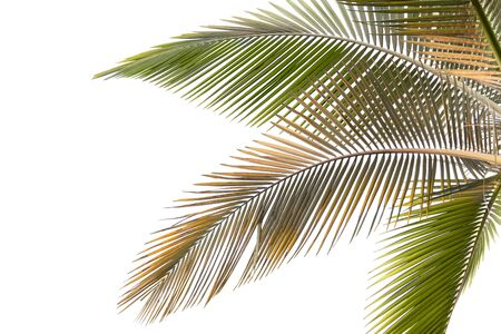 Part of palm tree with withered and yellow leaves on white background
