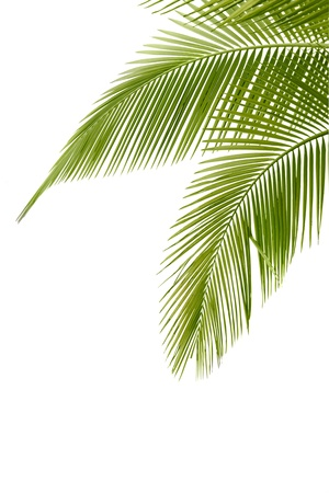 natural arch: Part of palm tree on white background