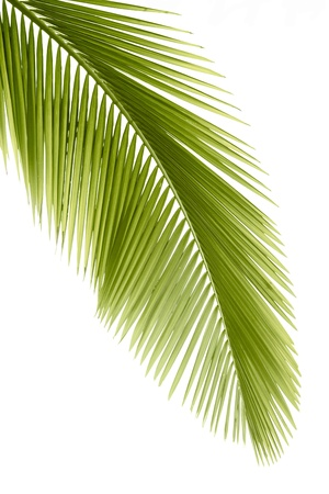 foliage frond: Part of palm leaf on white background