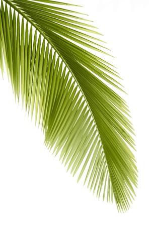 palmeras: Parte de la hoja de palmera en fondo blanco