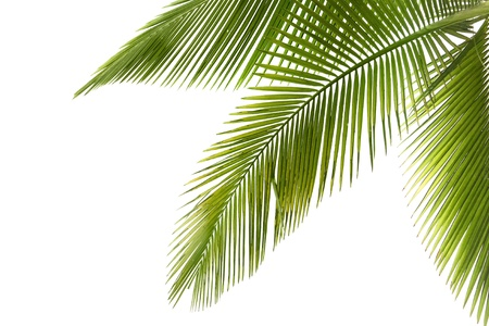 foliage frond: Part of palm tree on white background