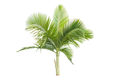 cycadaceae: Palm tree isolated on white background  Stock Photo