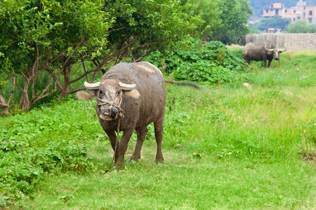 Domestic Asian water buffalo on a pasture in the southeastern China. photo