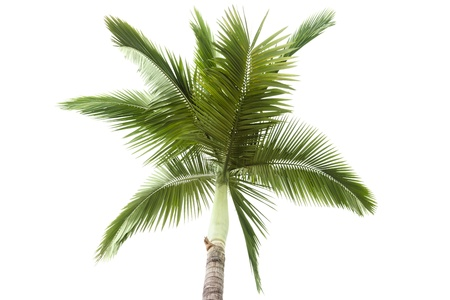 Palmier isolée sur fond blanc