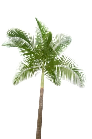 palmtree: Palm tree isolated on white background
