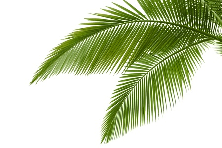 noix de coco: Palm laisse isol� sur blanc