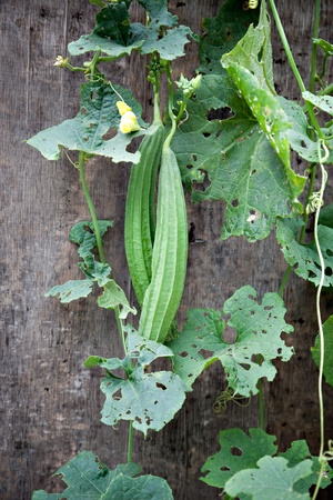 greenness: Green Loofah Plant on wall in garden.Vegetable Gourd is a species of Luffa, one of plant family Cucurbitaceae.