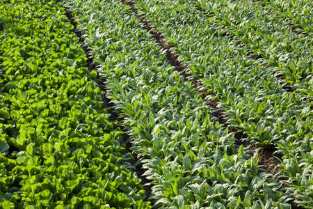 full frame background of asparagus lettuce fields in spring time  photo