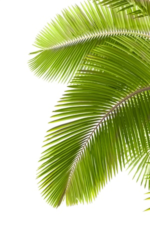 single tree: Leaves of palm tree  isolated on white background