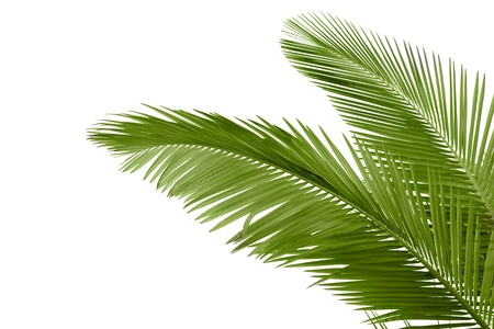 leaf close up: Leaves of palm tree  isolated on white background