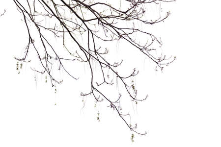 dead wood: Bare Branches of a tree on a white background in  the beginning of the spring