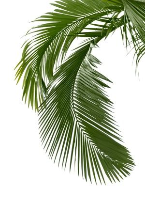 Palm leaves in the rain isolated on the white background
