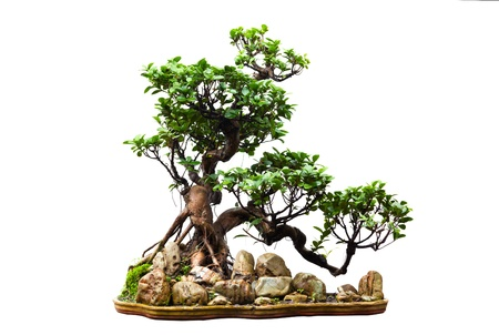Evergreen bonsai on white photo