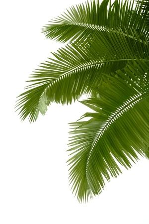 arboles frutales: Las hojas de palmera aisladas sobre fondo blanco Foto de archivo