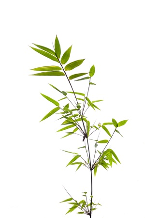 Twig leaves of bamboo tree in spring Stock Photo