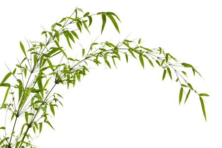 bamboo leaf: Twig leaves of bamboo tree in spring Stock Photo