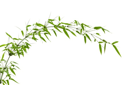 Twig leaves of bamboo tree in spring photo