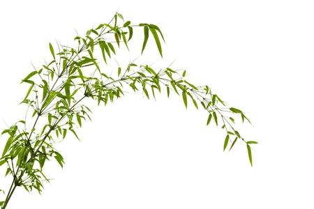 bambu: Twig hojas del �rbol de bamb� en primavera