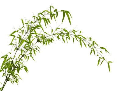 bamboo: Twig leaves of bamboo tree in spring Stock Photo