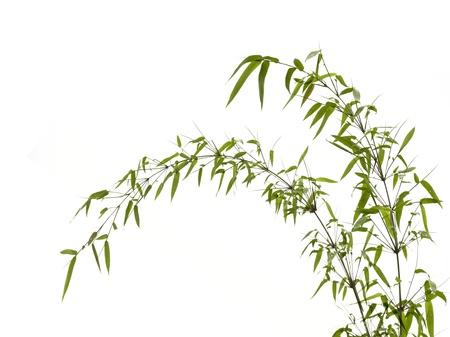 Twig leaves of bamboo tree in spring Standard-Bild