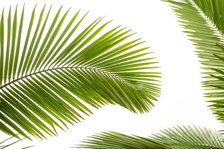droop: Leaves of palm tree  isolated on white background
