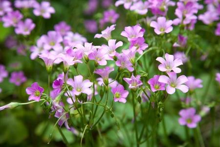 Pink oxalis Oxalis corymbosa  in garden Stock Photo - 13478692