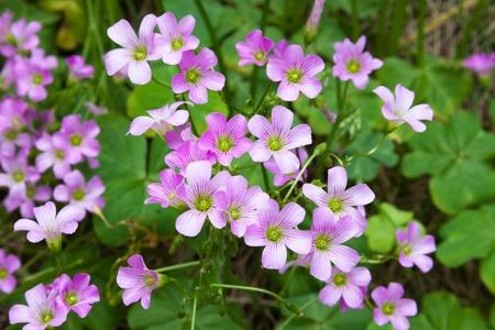 creeping woodsorrel: Pink oxalis Oxalis corymbosa  in garden