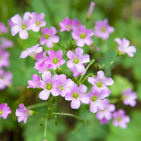 Pink oxalis Oxalis corymbosa  in garden  photo