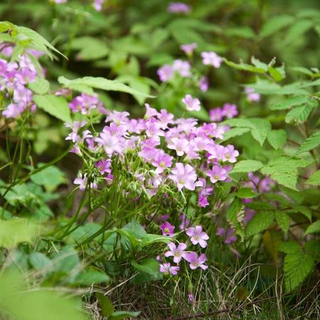 Pink oxalis Oxalis corymbosa  blurred  in wind Stock Photo - 13478668