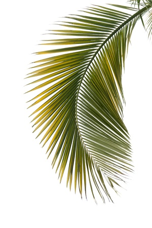 foliage frond: Leaf of palm tree isolated on the white background