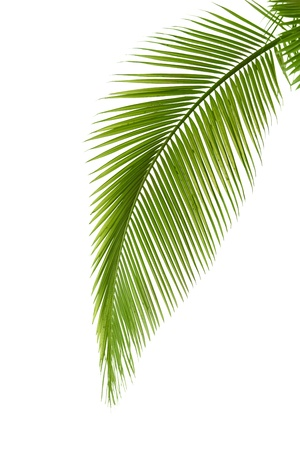 tropical evergreen forest: Leaf of palm tree isolated on the white background