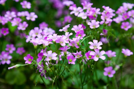 Pink oxalis Oxalis corymbosa  in garden  Stock Photo - 13564848