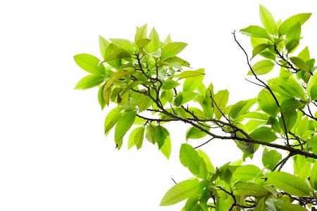 Leaves of mango tree in spring on white background Standard-Bild