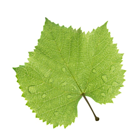 Grape leaf with water drop isolated on white photo
