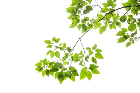 Beech leaves on white background