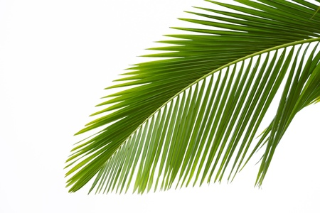 Leaf of palm tree isolated on the white background photo