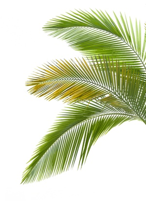 tropical evergreen forest: Leaves of palm tree isolated on the white background