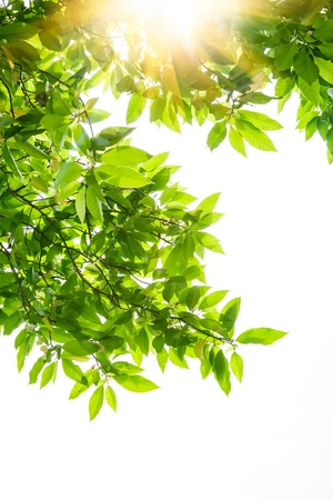 beautiful sunshine: Spring leaves of white magnolia tree under sunshine on white background
