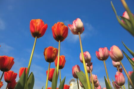 blossoming tulips from low angle with blue sky as background Adobe RGB color profile used for more detail show  photo
