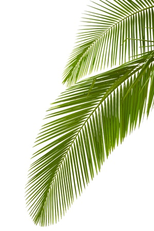 on palm tree: Leaves of palm tree  isolated on white background