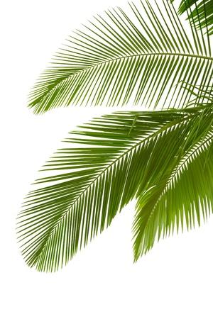 cocotier: Feuilles de palmier isol� sur fond blanc
