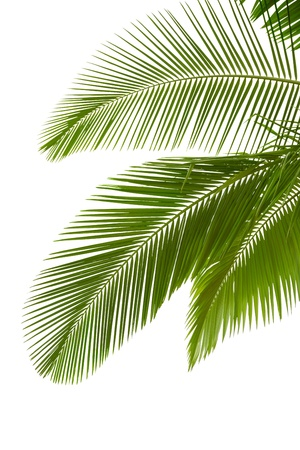 foliage frond: Leaves of palm tree  isolated on white background